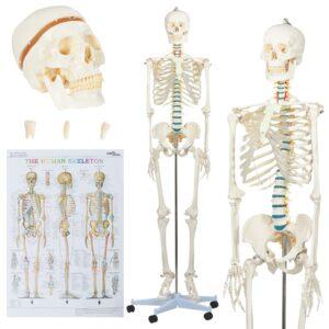 Modelo ensino de anatomia humana esqueleto + poster 181 cm - PORTES GRÁTIS