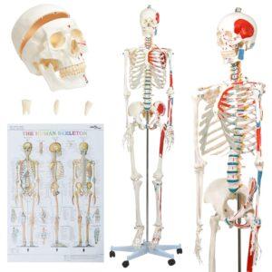 Modelo ensino de anatomia humana esqueleto com poster 181 cm - PORTES GRÁTIS